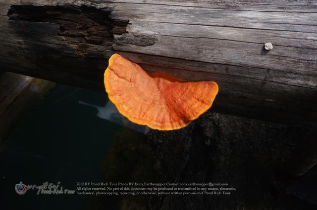 เห็ดขอนแดง[Pycnoporus sanguineus (Fr.) Murr.]