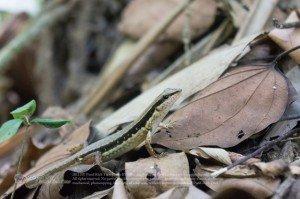 จิ้งเหลนภูเขาเกล็ดเรียบ [Sphenomorphus maculatus]